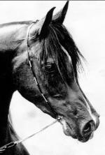testa cavallo arabo